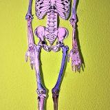 Skelette_Biologie_1