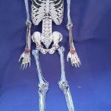 Skelette_Biologie_2