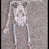 Skelette_Biologie_3