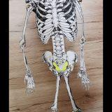 Skelette_Biologie_8